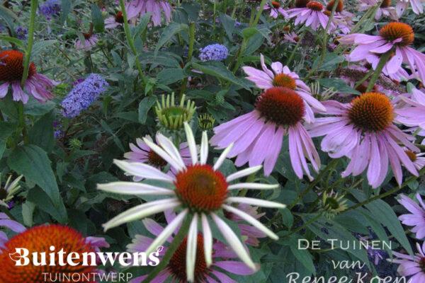 Buitenwens-Tuinontwerp-Heemskerk-Echinacea