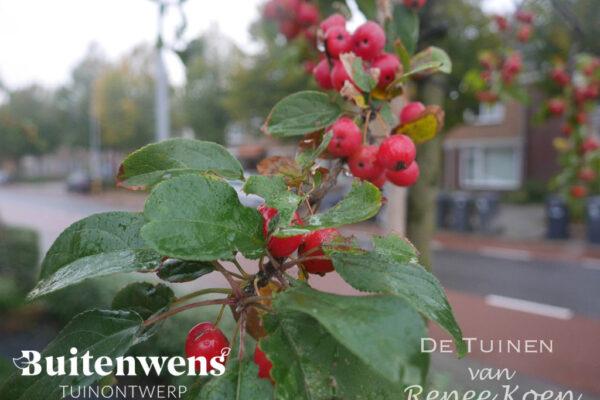 Buitenwens-Tuinontwerp-Heemskerk-Metamorfose-Malus-Red-Sentinel